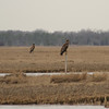 Two of the seven young eagles at Blood Ditch.