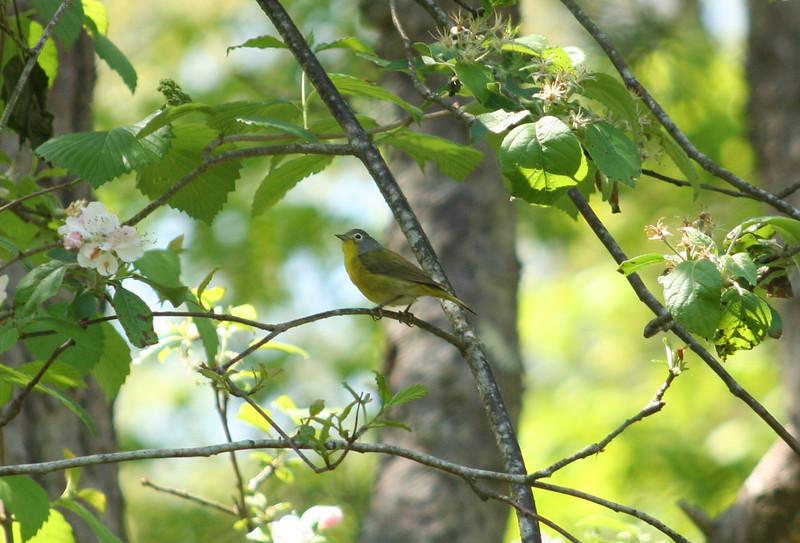Male Nashville warbler singing along James Akers Trail 5-4-12.