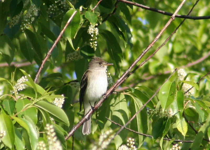 Willow flycatcher (presumably).  ID based on white breast, modest eye ring, pale loral stripe between bill and eye (see Sibley's field guide) and probability.  We did not hear it call.