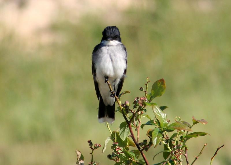 Eastern kingbird pair nest-building in shrubs along pond edge.