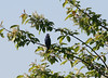 Male and female blue grosbeak in same area.  As of 5/22, male has been singing for at least a week.