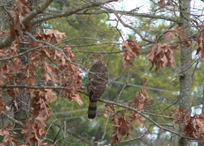 Cooper's hawk (imm.) on Old Port Road, 12-31-05
