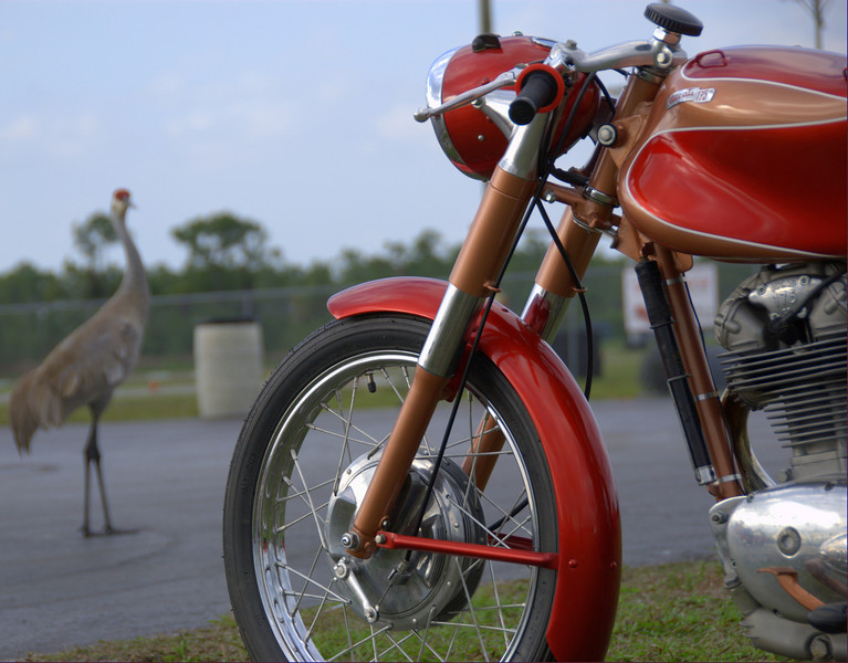 SandHill Cranes roam Moroso Motorsports Park with little fear of humans, noise or as it turns out, Ducati singles.
