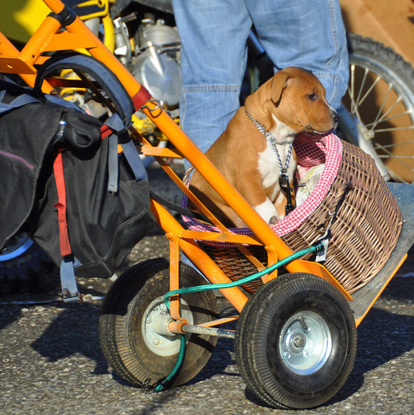 Dogs are everywhere as well.  They run loose seemingly knowing the place like it's home, dodging and weaving between the milling crowds like they have important schedules to keep.  This lucky pup rode around like this all day Friday - Mostra Scambio, basket view.