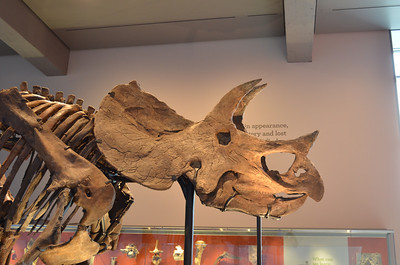 Triceratops at the Los Angeles Natural History Museum, CA