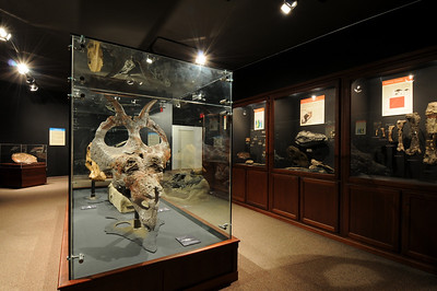 Museum of the Rockies, Bozeman Montana showcases one of the largest collections of dinosaur fossils in the world. Photography by Jim R. Harris