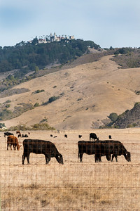 Hearst Castle with Hearst cattle