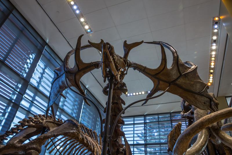 Megaloceros hibernicus Antlers