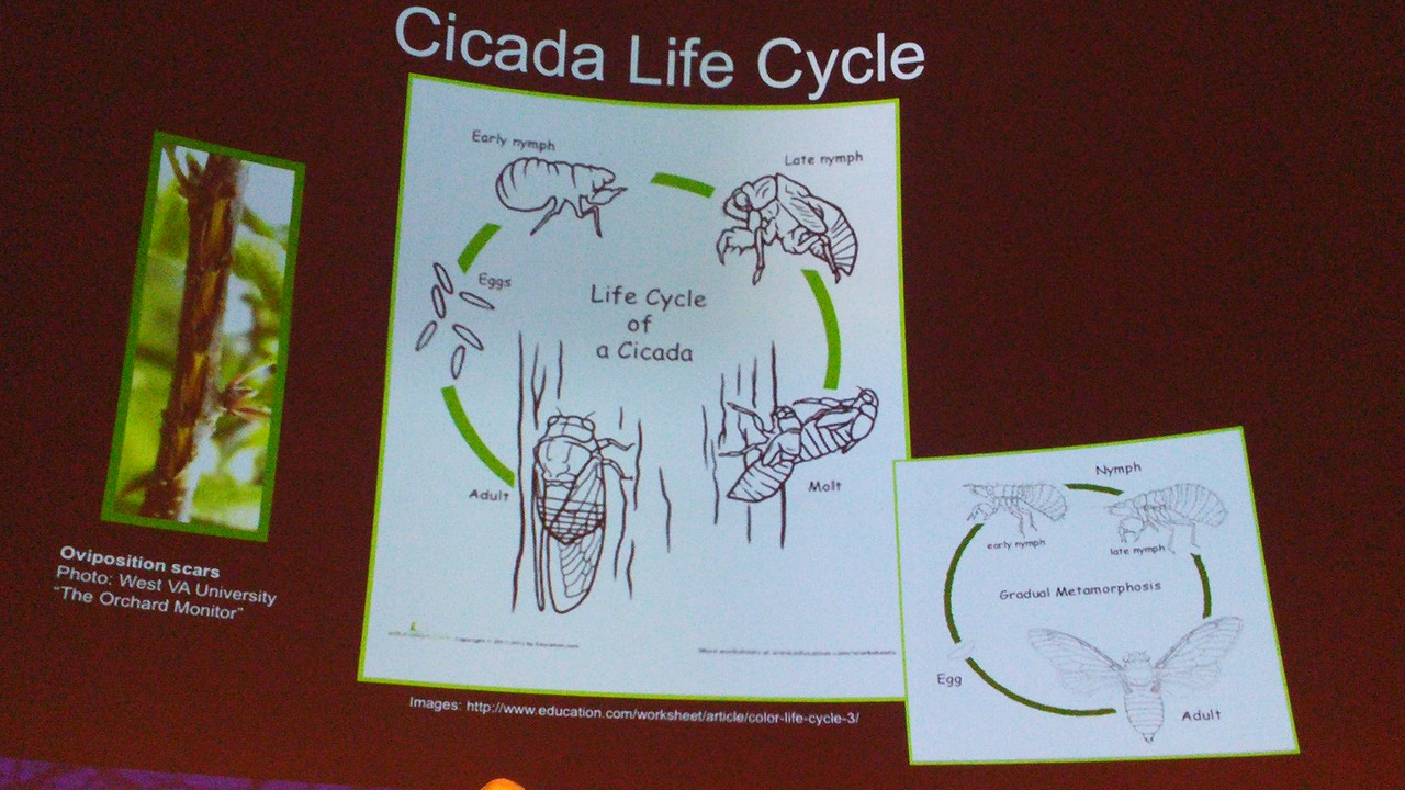 Life cycle of cicada.
