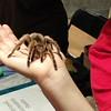 Another tarantula spider.