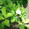 Japanese Cobra Lily