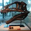 Acrocanthosaurus skull.