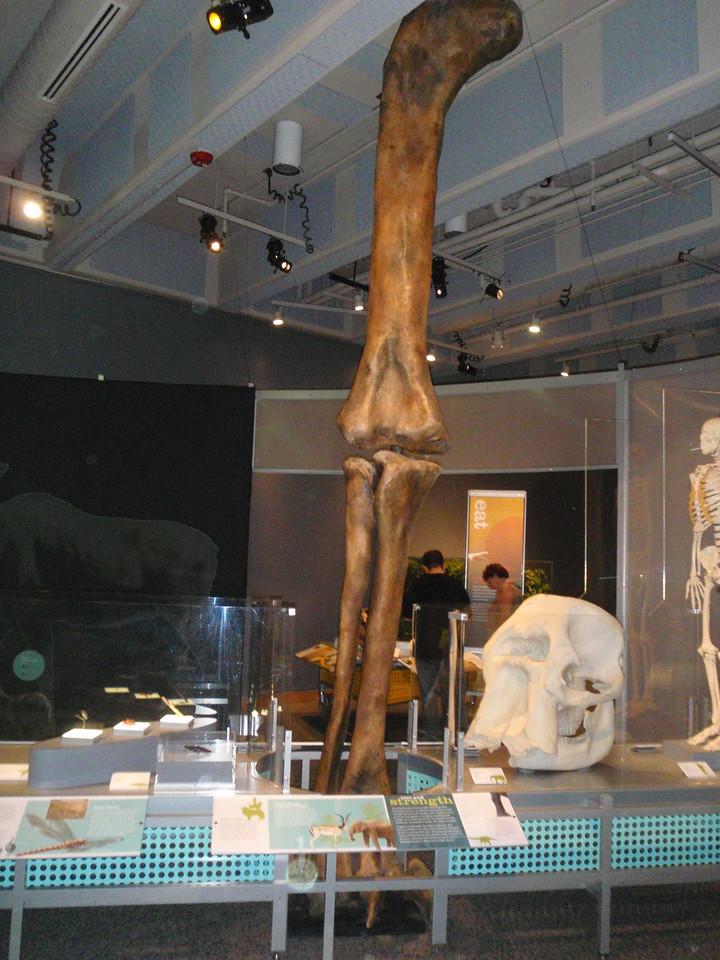 Massive leg of Supersaurus Vivianae; the thigh bone is 32 inches around.