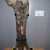 Diplodocus femur; 155 million years old