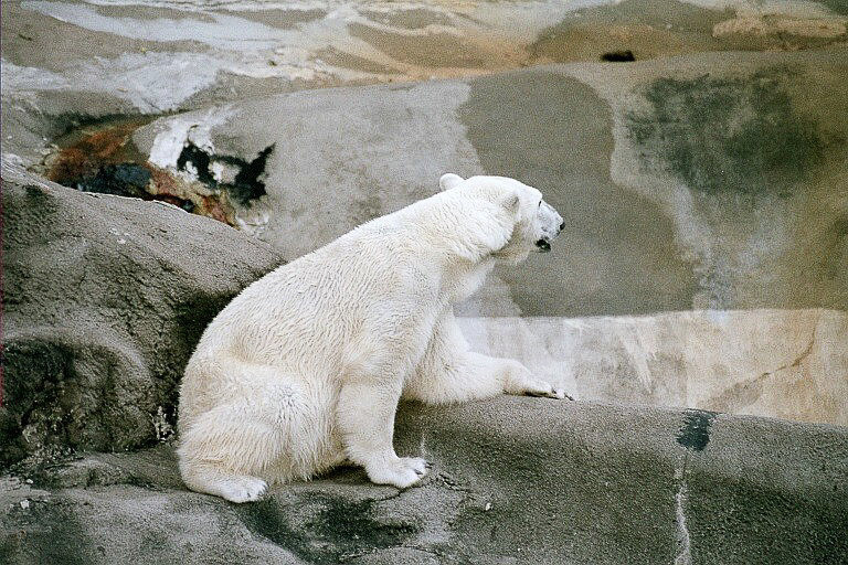 Kenda, relaxed polar bear!