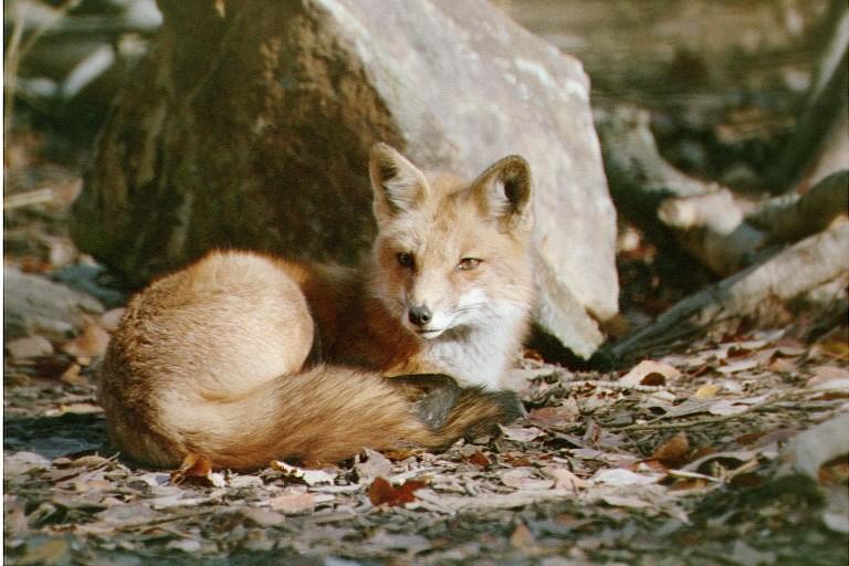 Redtail Fox