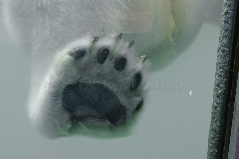 Polar bear foot. What claws!