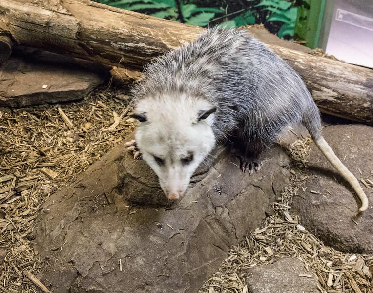 o'possum