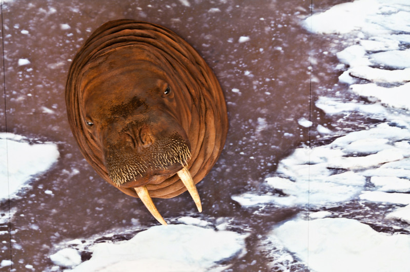 Portrait of a Walrus