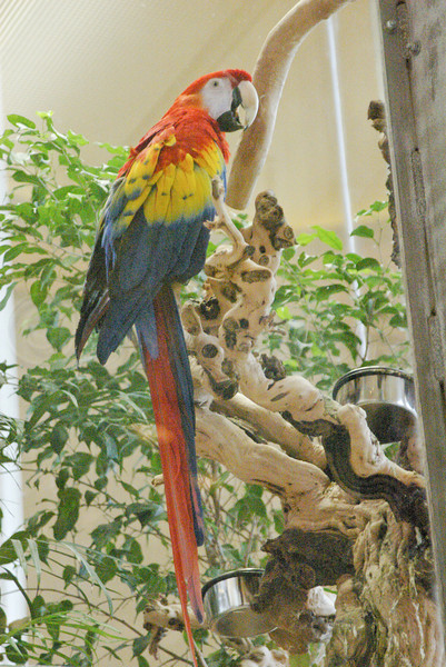 Scarlet Macaw on Tokay Vine.