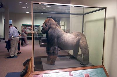 Large gorilla