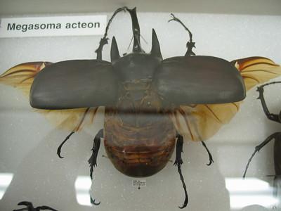 MEgasoma Acteon