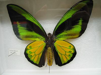Schoenbergia Goliath Ptocus