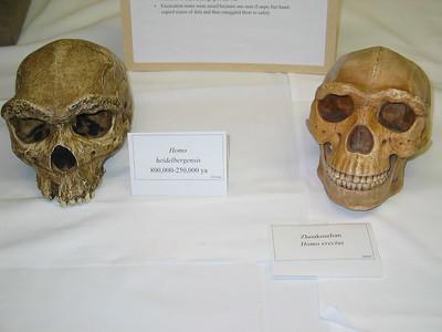 Skulls: Homo heidelbergensis and Zhoukoudian