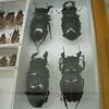 Mesotopus Tarandus Swederus