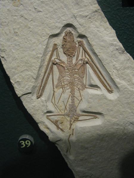 Bat fossil