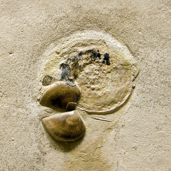 Ammonite with aptychus preserved, Jurassic