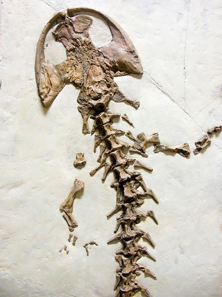 Andrias scheuchzeri, Miocene giant salamander