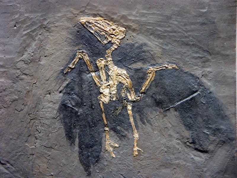 Messel bird, Eocene