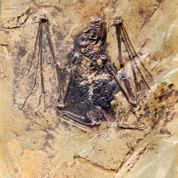 Bat from the Messel maar lake deposits , Lutetian, Eocene (47 Ma)<br /> <br /> Olympus E-600 & Zuiko 12-60mm/2.8-4.0