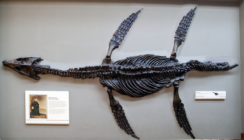 Rhomaleosaurus cramptoni, pliosaur, London, UK<br /> <br /> (corrected perspective)<br /> <br /> Olympus E-420 & Zuiko 12-60/2
