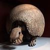 Glyptodon, London, UK<br /> <br /> Olympus E-420 & Zuiko 12-60/2