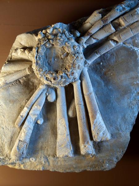 Hemicidaris crenularis (Jurassic), Besancon, France