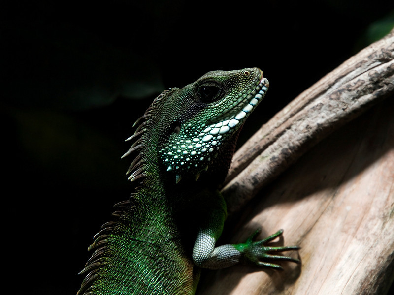 Physignathus cocincinus, Green Water Dragon