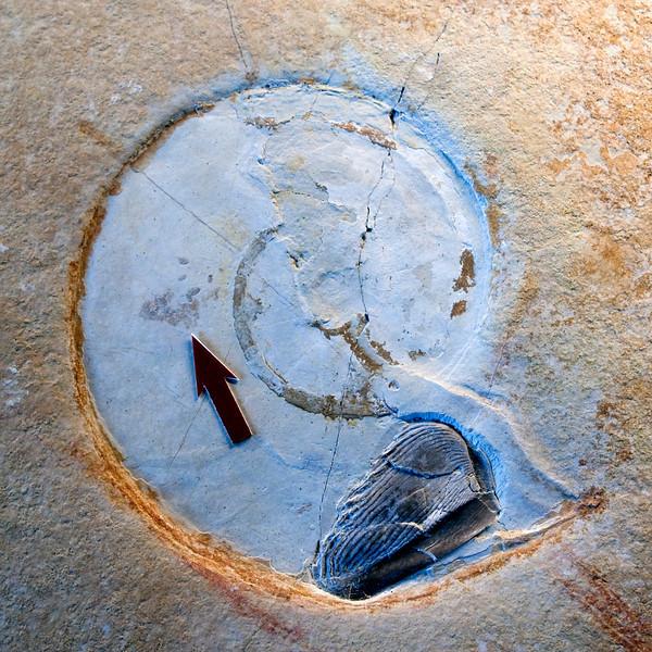 Aptychus in ammonite
