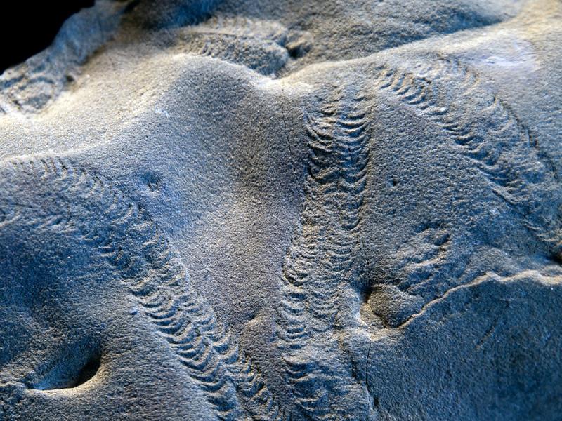 Cruziana ichnofacies (Carboniferous), trilobite tracks, Indiana, USA