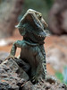 Pogona vitticeps, Bearded Dragon
