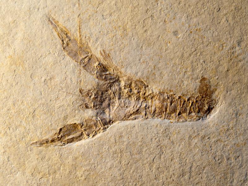 Eryma leptodactylina (Jurassic), Eichstätt, Germany