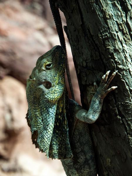 Chlamydosaurus kingii, Frillneck Lizard