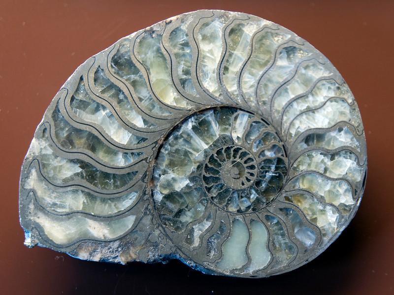 Oxynoticeras oxynotum (Liassic), Lyme Regis, England