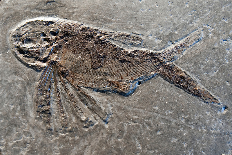 Thoracopterus niederristi, Lunz, Austria