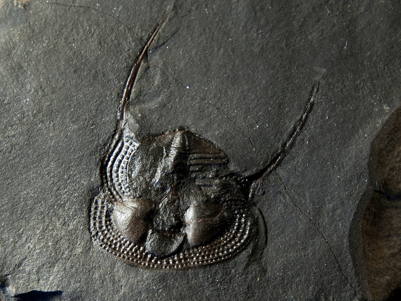 Trinucleus ornatus (Silurian), Beraum, Czech Republic