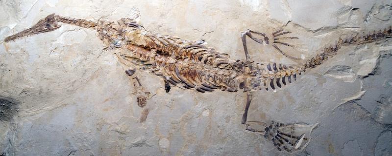Mesosaurus tenuidens (Permian), Brazil