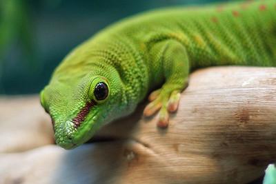 Lizard (65720144)