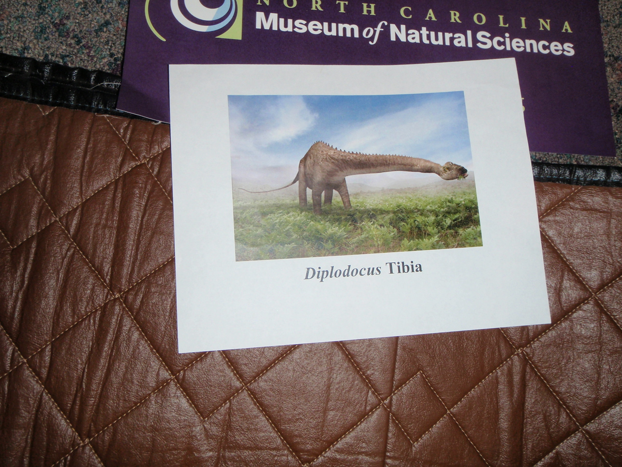 The museum allowed guests to compare their height to the tibia of a Diplodocus dinosaur.....