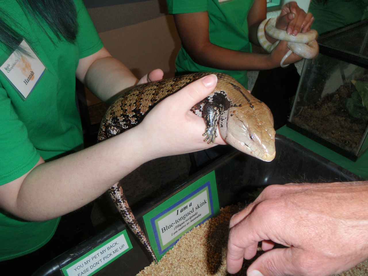 A fun reptile (skink) with a blue tongue that licks hands!